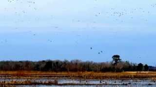 Bear Island MWA - ACE Basin South Carolina - February 09,2015