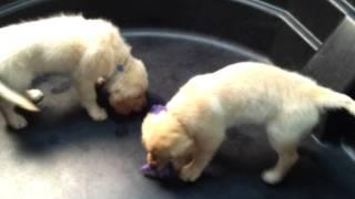Golden Retriever Puppies Ready To Go Home!