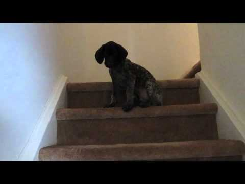 German Shorthaired Pointer Learning to use the Stairs