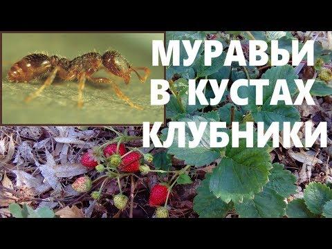 Как бороться с муравьями в кустах клубники