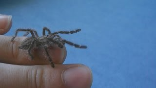 "Handling ""jumping"" Gooty sapphire ornamental tree spider (Poecilotheria metallica) L4 [Inferion7]"