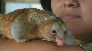 Карликовый муравьед - новый обитатель зоопарка Перу (новости)