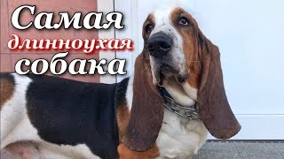 Собака с самыми длинными ушами-Бассет-хаунд/Dog with the longest ears