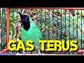 Cucak Ijo Gacor Bongkar Isian Full Nembak Ampuh Untuk Pancingan Dan Masteran Burung Anda  Mp3 - Mp4 Download