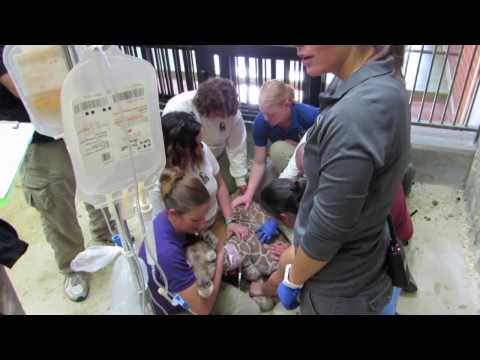 Thumbnail: Plasma transfusion for giraffe calf, Dobby