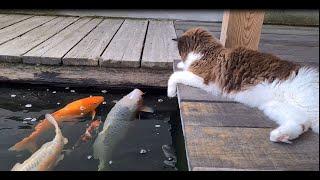 Friendly Cat Welcomes New Koi Fish