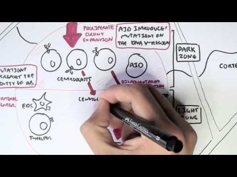 Immunology - Adaptive Immunity (B cell Activation, Hypermutation and Class Switching Overview)