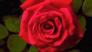 Kaip pražysta gėlės