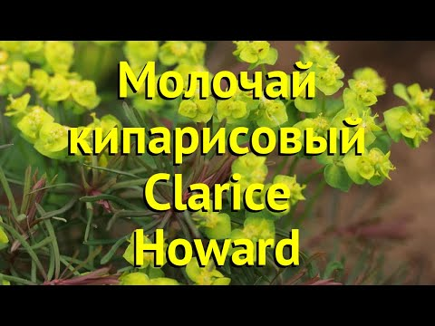 Молочай кипарисовый Кларис Ховард. Краткий обзор euphórbia cyparissias clarice howard Clarice Howard