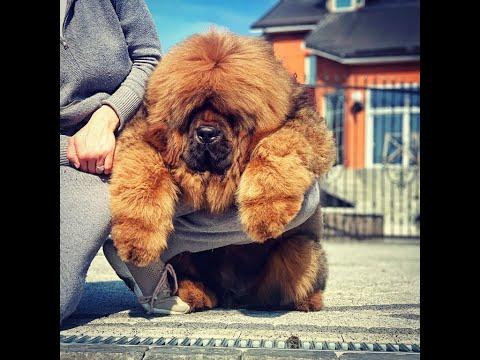 Tibetan mastiff. Puppy. Grooming