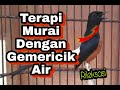 Terapi Murai Dengan Gemericik Air  Mp3 - Mp4 Download