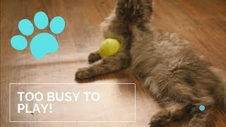 We Would Play But Grooming First- Cute Pet Cat Video