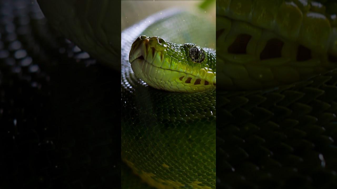 Green Viper Snake Wallpaper
