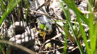 Ribbon Snake Eating Leopard Frog distress call