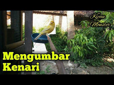 Download Lagu Cara Mengumbar Burung Kenari Untuk Pemula