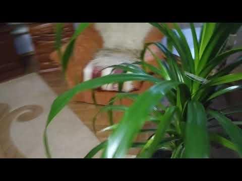 Комнатное растение Панданус Выращивание Уход