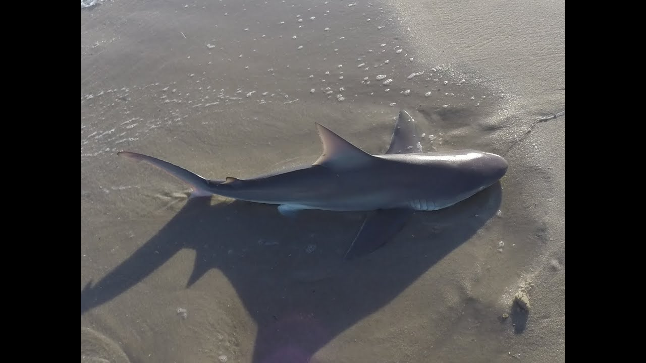 Brown shark sandbar sharks surf fishing jones beach for Surf fishing for sharks