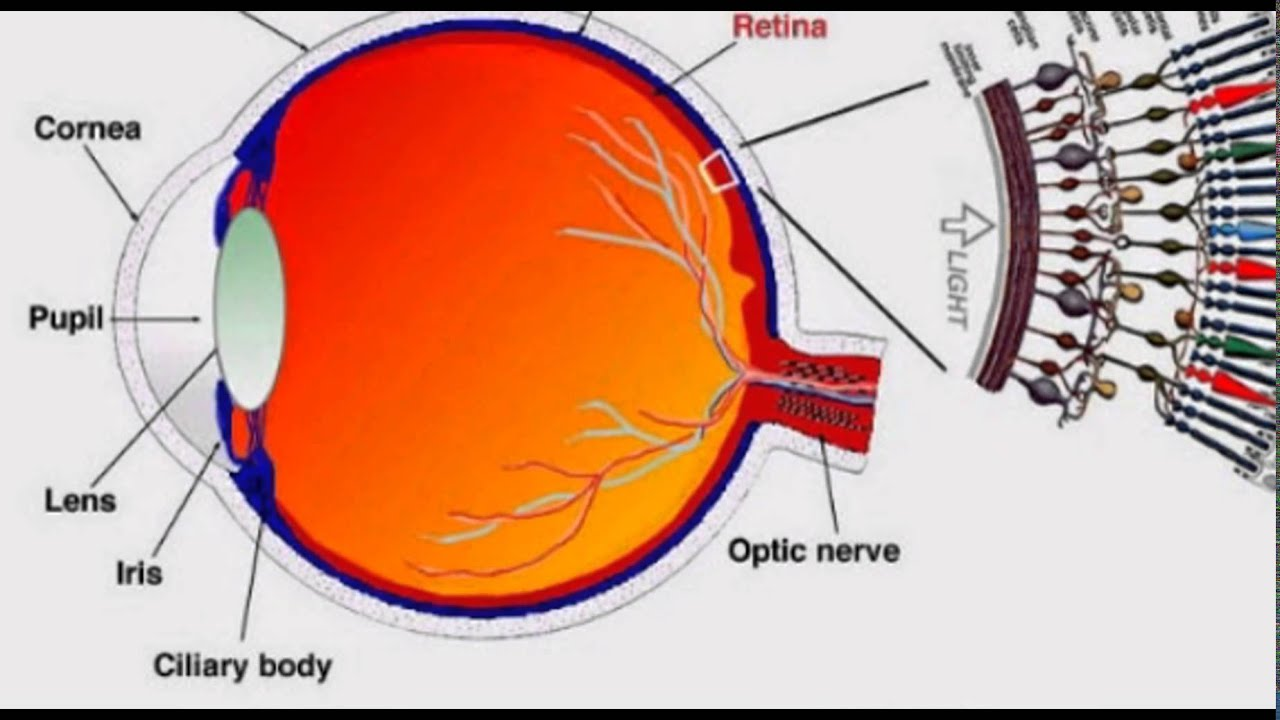 The human eye and its functions youtube the human eye and its functions ccuart