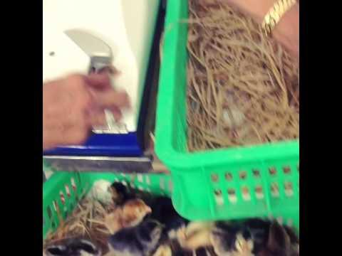 [Gà giống Bến Tre - Trại gà Thiên Lộc]- chích thuốc ngừa bệnh cho gà giống