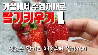 맛있는 딸기 수경재배로 키워보아요~~#1 베란다텃밭