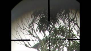 Air Rifle pigeon shoots miss 2013 with cometa lynx v10 .22