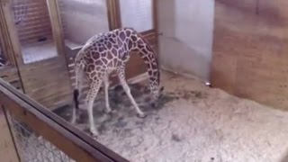 Live Giraffe Birth Pulled From YouTube For... NUDITY???