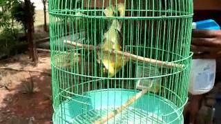 Video Atraksi Burung Kepodang download MP3, 3GP, MP4, WEBM, AVI, FLV Maret 2018