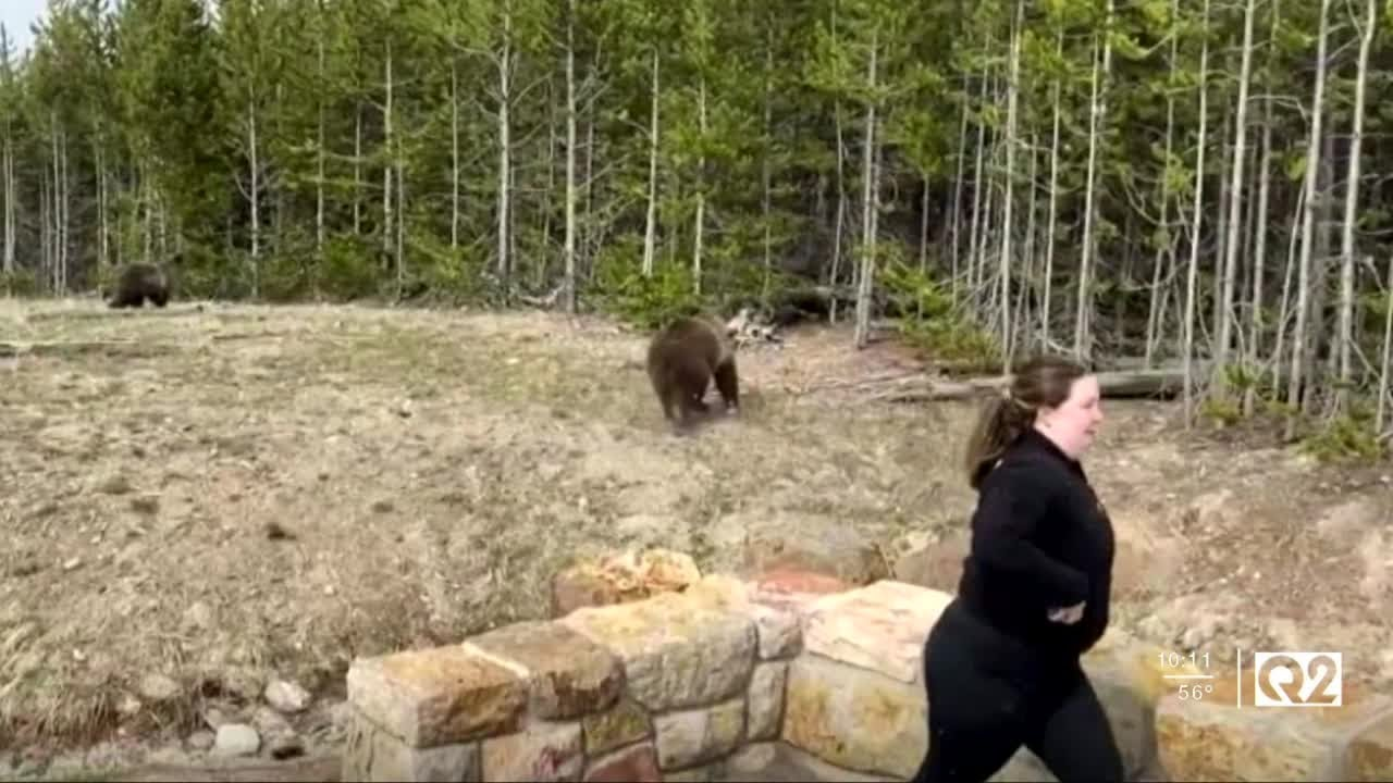 WATCH: Yellowstone bear runs at woman approaching with her phone. Now, park rangers are looking for her.