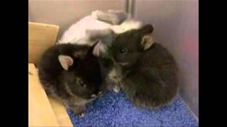 How a 3 week Netherland Dwarf Bunny Rabbit Sleeps