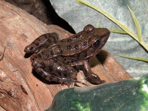 Herping in my basement: Leopard frogs!