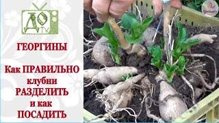 видео Георгины многолетние: посадка и уход, фото, хранение, размножение семенами на рассаду