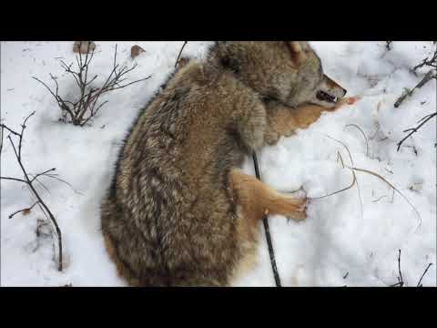 S2 E6 Coyote and wolf trapping Mp3