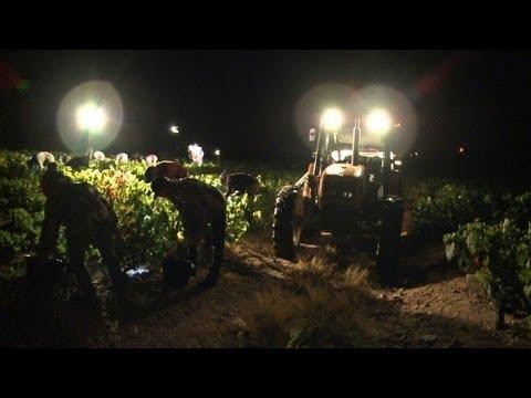 First Grape Harvest Begins For Beaujolais