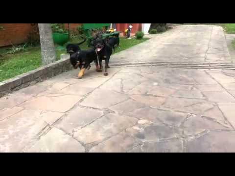 Rottweiler Filhotes Porto Alegre RS