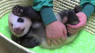されるがまま…赤ちゃんパンダの身体検査がとんでもなくキュート(動画)