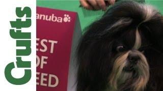 Best Of Breed:  Shih Tzu