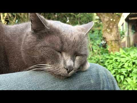 Balding Old Chartreux Cat