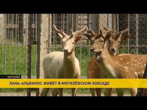 Лань-альбинос живёт в Могилёвском зоопарке