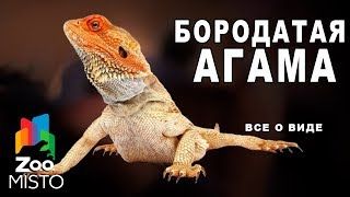 Бородатая агама - Все о виде ящериц   Вид ящериц - бородатая агама