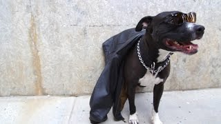 Pit Pull Whose Owner Died Is Looking For A Home Again