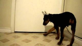 13 Week Old Doberman Pinscher Vs Chihuahua Part 2