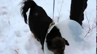 Спасённая в Курской области собака Жужа на прогулке