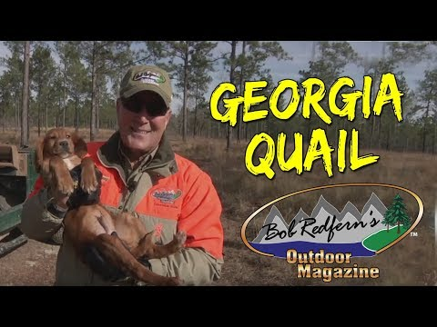Georgia Quail Hunt | Bob Redfern's Outdoor Magazine