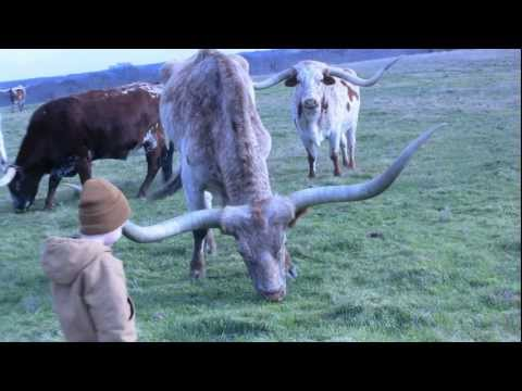 Texas Longhorns - Longhorn Cattle Ranch - Stark Ranch
