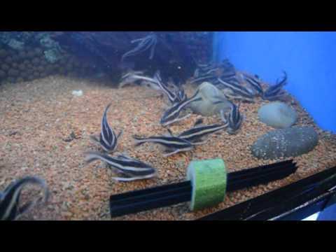 Striped Raphael Catfish (Platydoras Armatulus)  Feeding Humbugs!!
