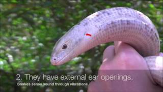 Fun Facts About Legless Lizards