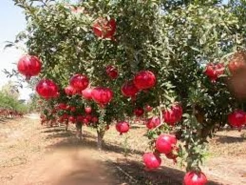 How to make profit from Pomegranate cultivation ದಾಳಿಂಬೆ ಹಣ್ಣು kannada