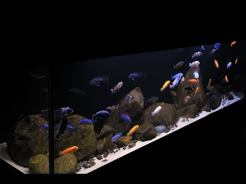 Lake Malawi Display Aquarium- 125 Gallon Aggressive Mbuna
