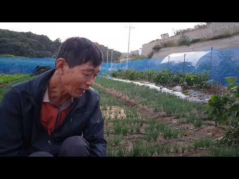 쪽파밭 후기관리와 재배방법 병해충 관리