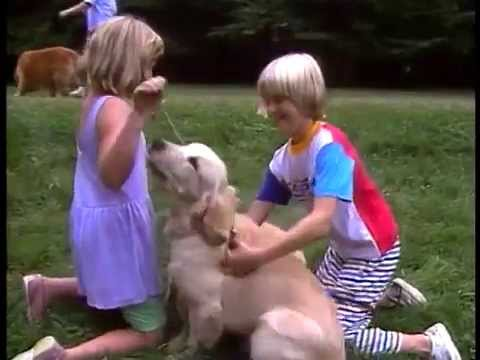 Golden Retriever - AKC Dog Breed Series